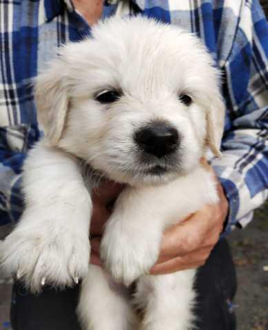 Продам Золотистый ретривер щенки