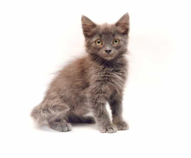 Отдам даром Самсон-самый ласковый и нежный котенок