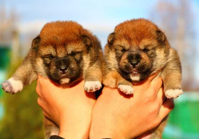 Продам Предлагаем щенков Сиба-ину (Мини акита)