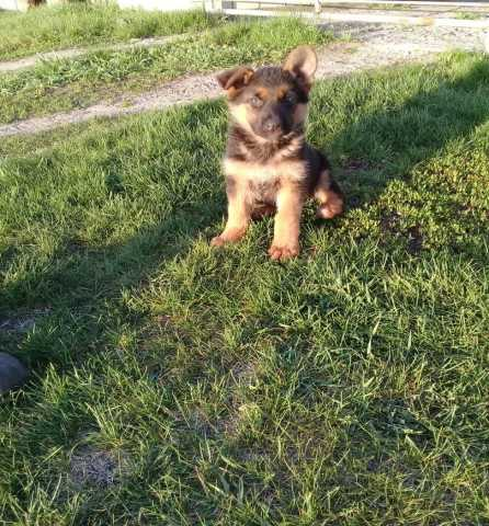 Продам Собака-друг: умные и милые щенки немецко