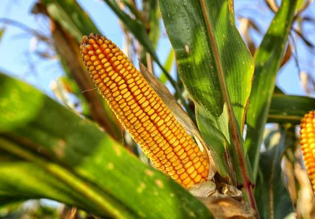 Продам Семена кукурузы высокоурожайные гибриды