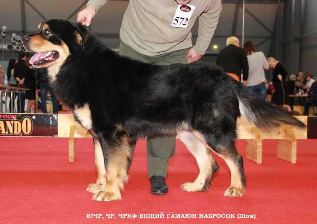 Продам Щенки Бурят-Монгольского волкодава