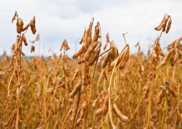 Продам: Семена сои ультраранних сортов РС1