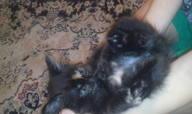 Отдам даром: Подарю сибирских котят котенок котята