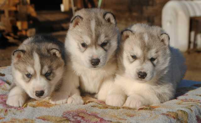 Продам Сибирский хаски, щенки