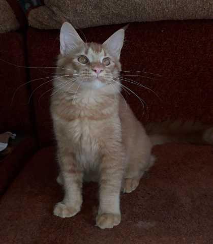 Продам: котик