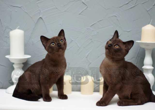 Продам Патрик -Бурма котик