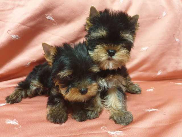 Продам Шикарные щенки мини-йорка