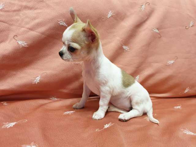 Продам Шикарные мини-щенки чихуахуа