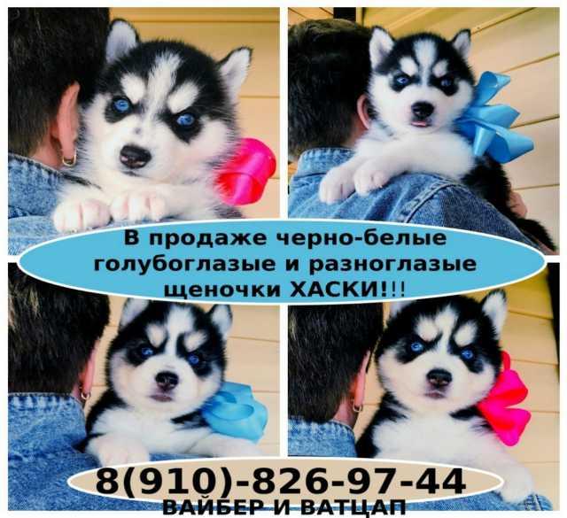 Продам: Шикарные сибирские хаски