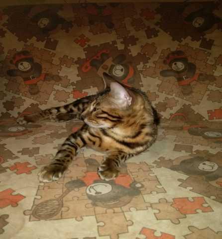 Продам Продаются бенгальские котята