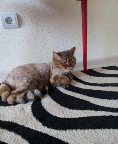 Отдам даром: Британская кошка Стеша