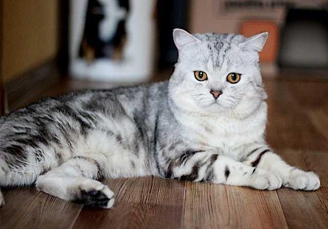 Предложение: Шотландские котики на вязку