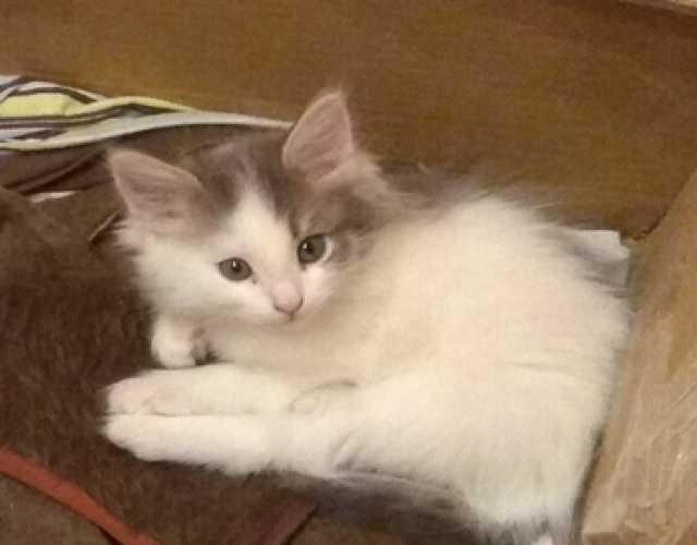 Отдам даром Белый с серым котенок