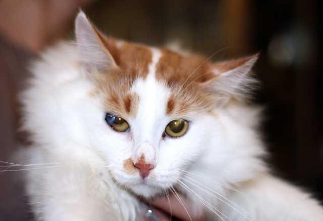 Отдам даром Пушистый роскошный котик Ёшка