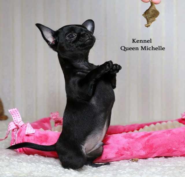 Продам: Продажа красивых породных щенков чихуаху