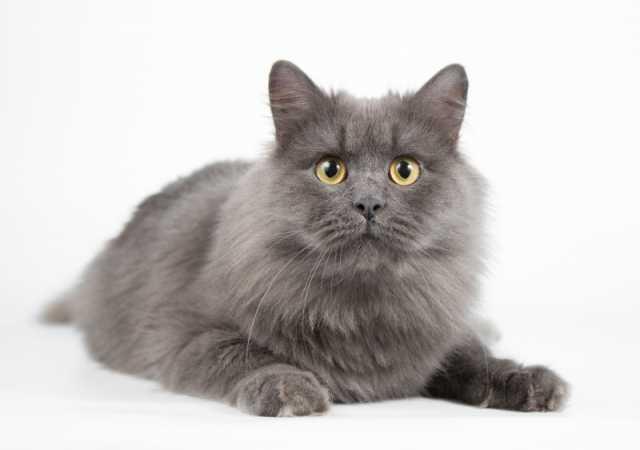 Отдам даром: Молодой ласковый кот Бильбо, нибелунг
