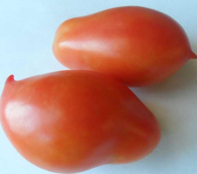 Продам: Старинные томаты 1885г, скороспелка.рф