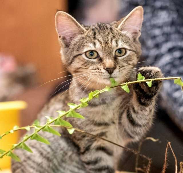 Отдам даром Очаровательный котенок — тигренок Лука
