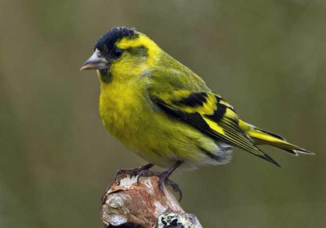 Продам чиж певчая птица