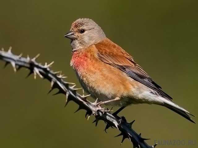 Продам реполов певчая птица