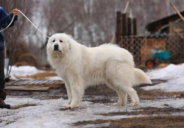 Продам Пиренейская горная собака