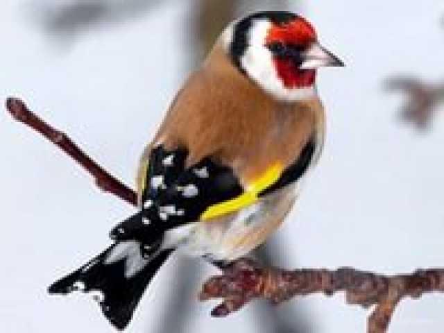 Продам щегол певчая птица