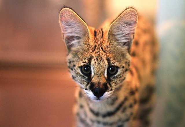 Продам: Котята сервала
