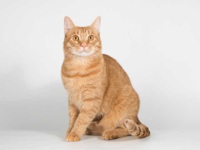 Отдам даром: Рыжий молодой кот Плюшик