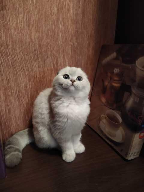 Продам Кошечка фолд