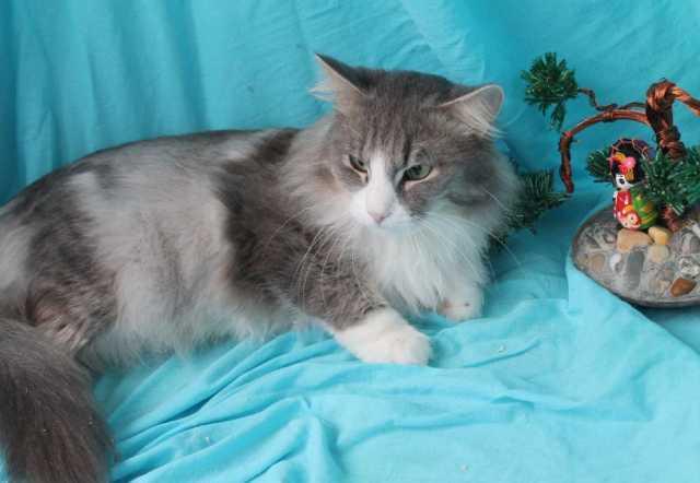 Отдам даром Кашемировый Серый. Ласковый котик в дар