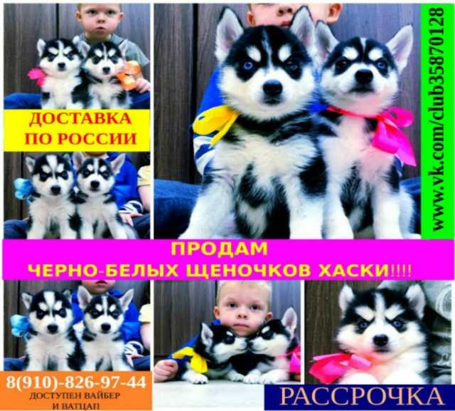Продам: Красивые черно-белые щеночки