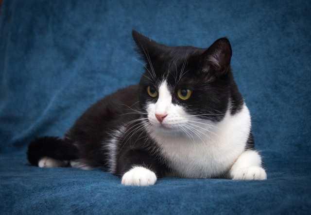 Отдам даром: Шёлковый черно-белый котик