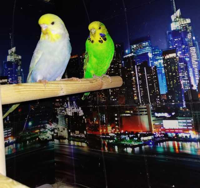 Продам Волнистые попугаи-Чехи