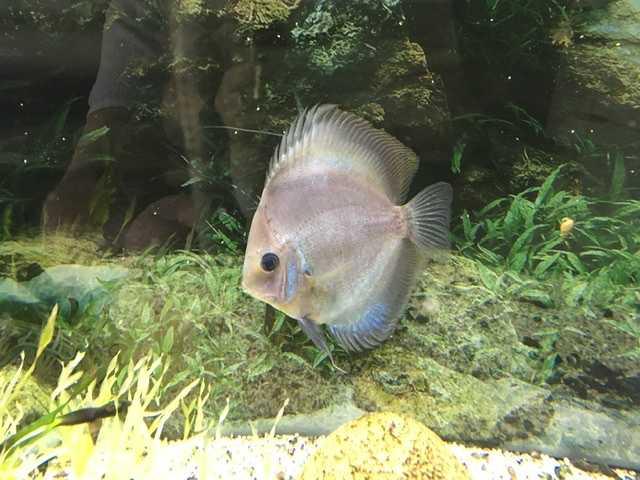 Продам Рыбка Дискус 10 см