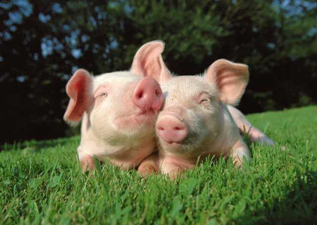 Продам свежее мясо свинины