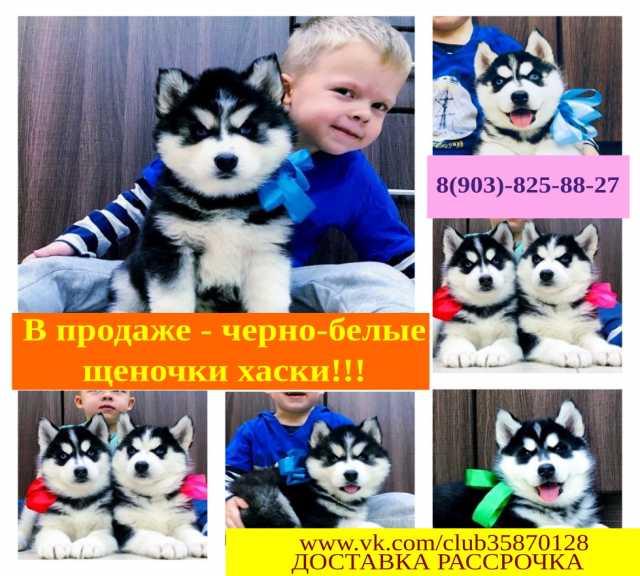 Продам: Черно-белые шикарные щенята хаски