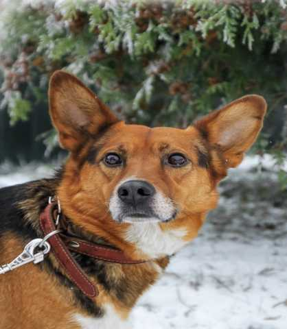 Отдам даром Виру — собаку -хитрульку в добрые руки