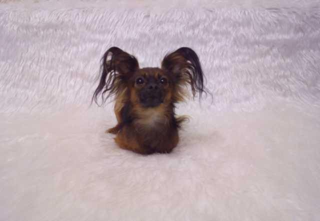 Продам Подрощенные щенки Русского Той-терьера
