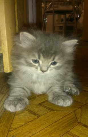 Отдам даром Котёнок девочка серая в полоску 7 недель