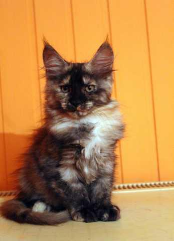 Продам: Котята Мейн-кун