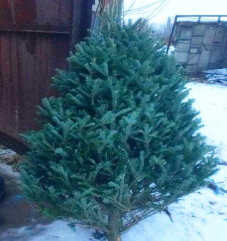 Продам: Елки и сосны новогодние