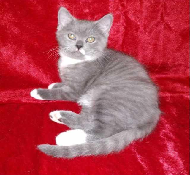 Продам: Шотландские прямоухие котики