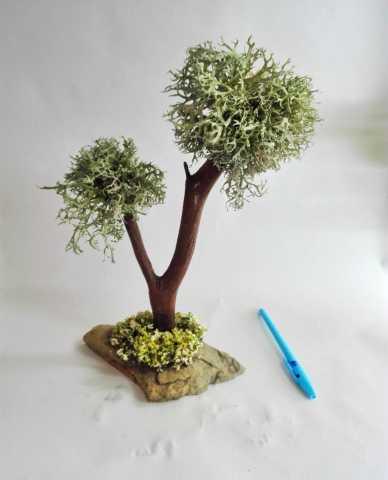 Продам Исландский мох цетрария дерево бонсай