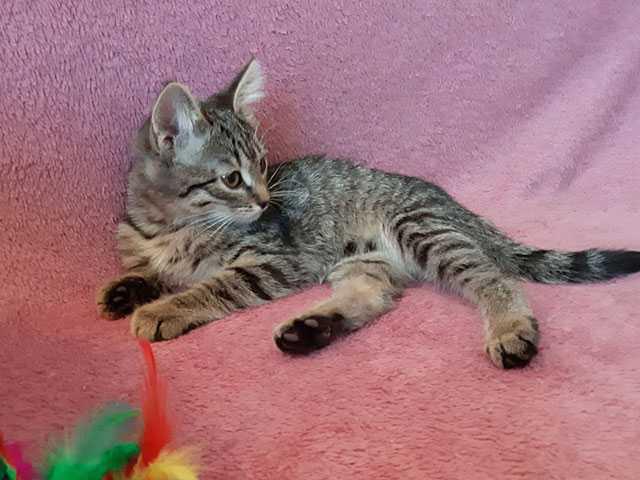 Отдам даром Томас и Ириска, домашние ласковые котята