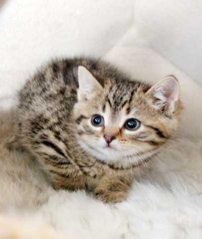 Отдам даром Полосатое очарование котенок Полианна