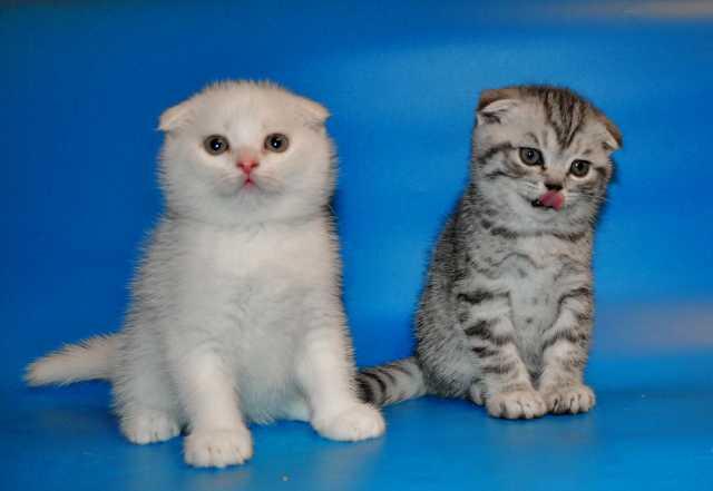 Продам IШотландские котята