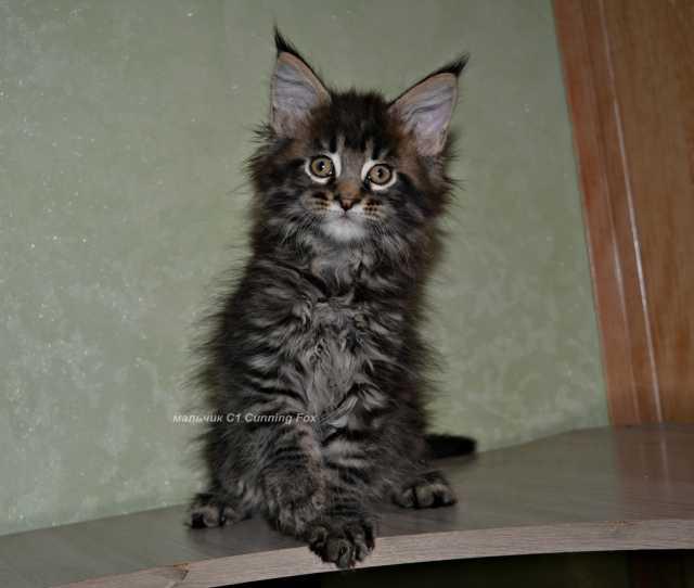 Продам: Прекрасные котята Мейн-кун
