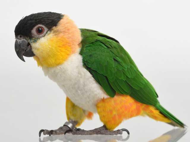 Продам Каик или черношапочный попугай