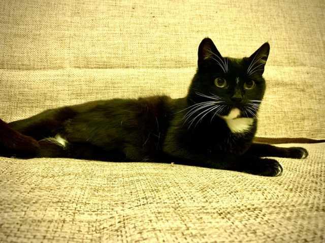 Отдам даром Кошка-компаньон Веста ищет дом!